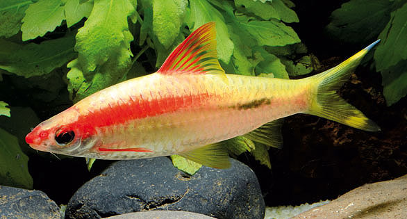 "The ""Gold"" captive-bred form of Puntius denisonii is now available in larger numbers and should be commercially available soon."