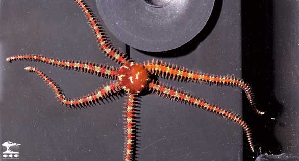 Ophiocoma pumila hiding between a powerhead and the aquarium wall.