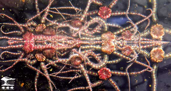 Brittle stars' arms intertwined in a dense network.