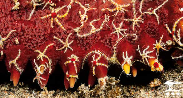 A profusion of tiny Ophiothelia brittle stars on a knobbed starfish, Protoreaster sp.