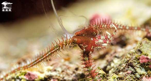 In the aquarium, Ophiocoma pumila releases sperm a few weeks after vegetative propagation.