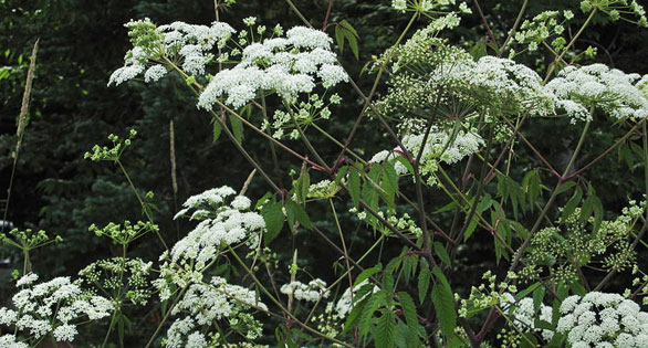 Poison Hemlock, with its characteristic white umbrella-like flower clusters.