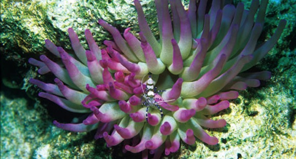 Condylactis gigantea, Giant Sea Anemone: Overcollection suspected. Image by Janine Cairns-Michael.