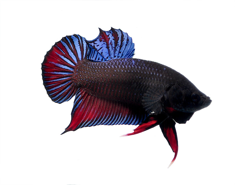 "A resplendent male ""RX22"" Thai Fighter Plakat Betta"