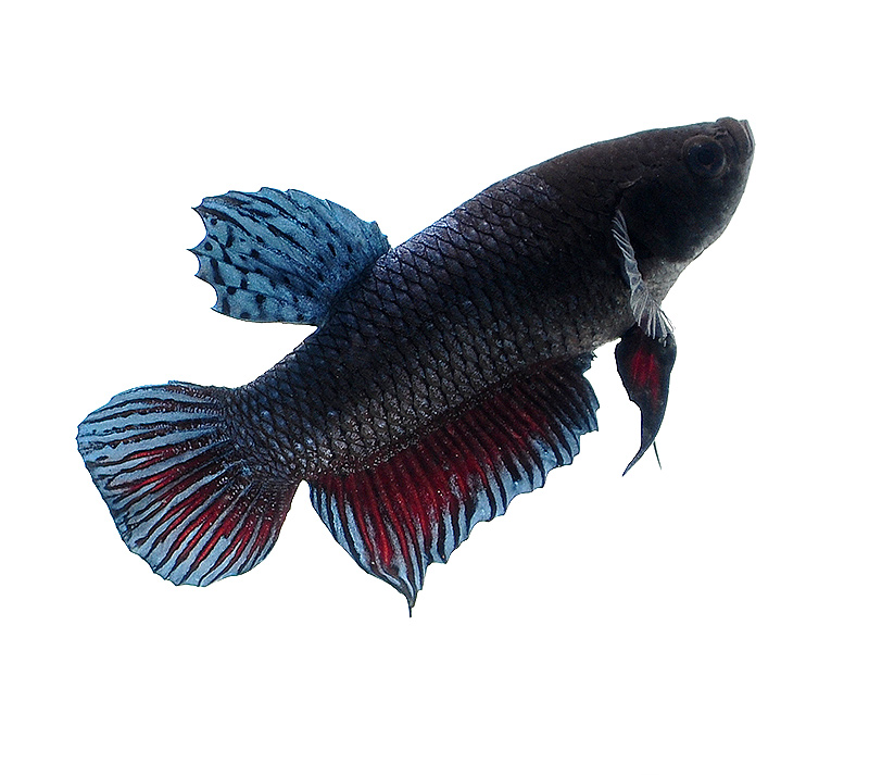 Our second photographic subject, an Indo Bagan Fighter Plakat betta.