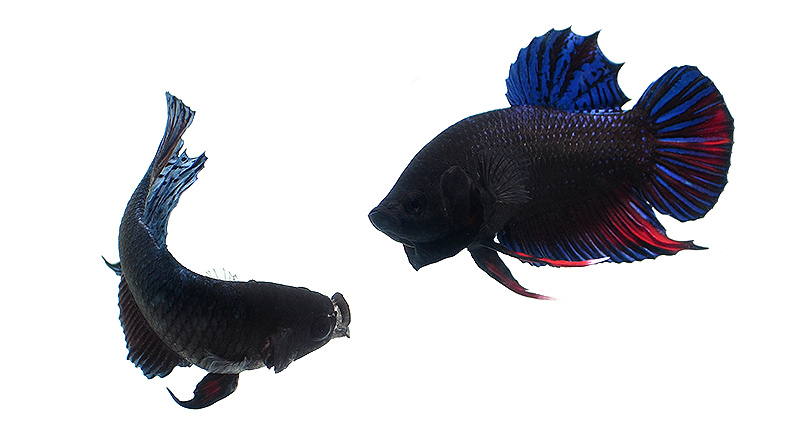The intimidation between these two fish intensifies.