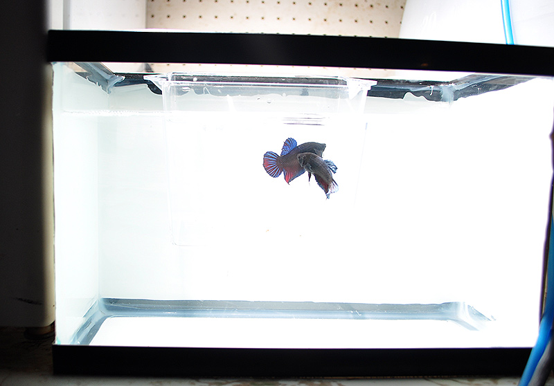 The specimen cup inside the 2.5 gallon photo tank allows for interaction without any risk to either fish.