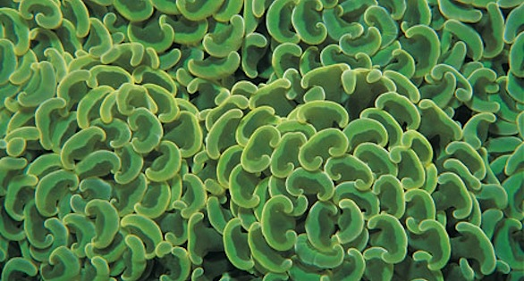 "Branching Hammer Coral, Euphyllia parancora, described by the Center for Biological Diversity as one of many stony corals in need of protection from ""taking"": environmental harm, collection, importation, or interstate trade.  Image: Janine Cairns-Michael"