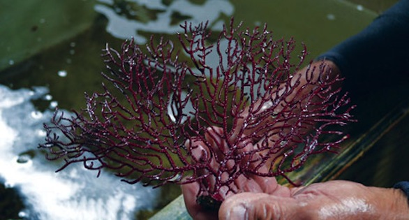 Gorgonians are among the most popular items Feddern offers, including this Pinnate Spiny Sea Fan, Muricea pendula.