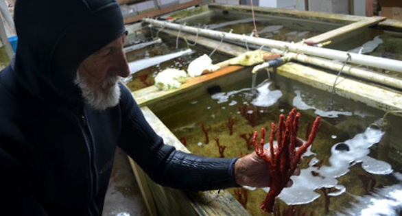 Feddern with Red Tree Sponges in his Tavernier, Florida, holding facility. All organisms are collected to fill orders from public aquaria, universities, and wholesale and retail clients.