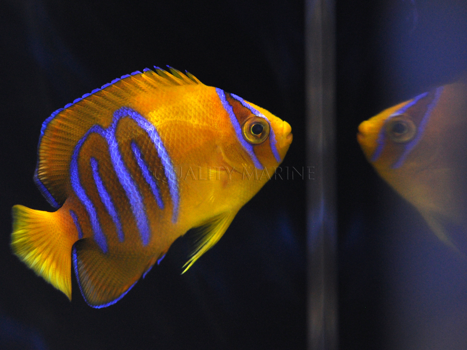 Aquacultured Clarion Angelfish from Bali Aquarich, images courtesy / copyright Quality Marine