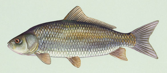 The Bigmouth Buffalo, Ictiobus cyprinellus, is a North American carp-like native fish found from Canada to the Louisiana Gulf Coast. Illustration by Duane Raver/US Fish and Wildlife Service.