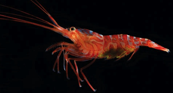 Lysmata hochi, a Peppermint Shrimp that some suggest is being over-harvested as a marine aquarium maintenance animal.
