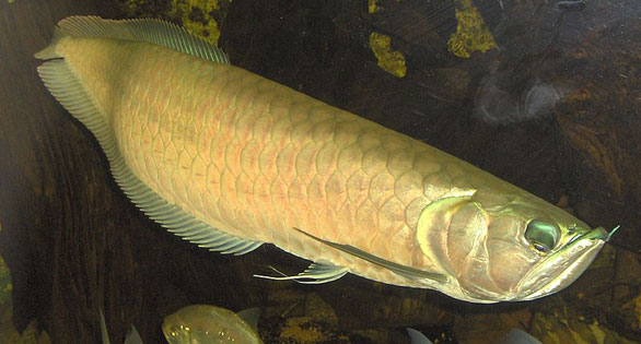 The Silver Arowana, Osteoglossum bicirrhosum, now being farmed for the aquarium trade. Image: Wikipedia.