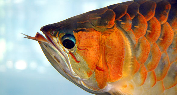 Red Arowana (Scleropages legendrei) Image: Marcel Burkhard/Wiki Commons
