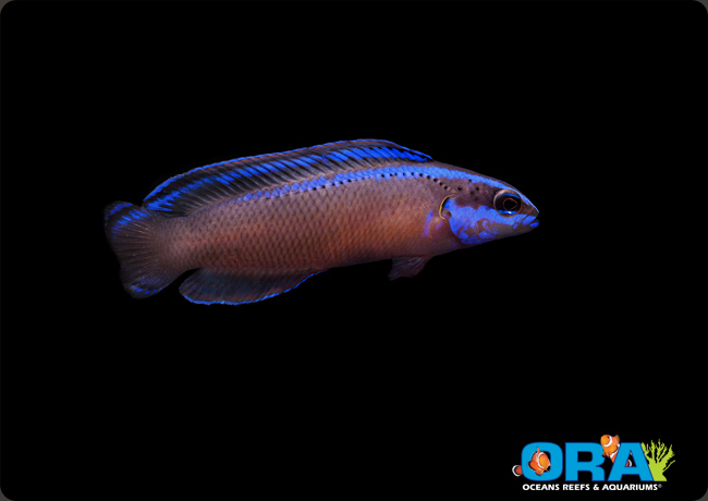 ORA's new Black Neon Dottyback is a hybrid of two popular Red Sea species.