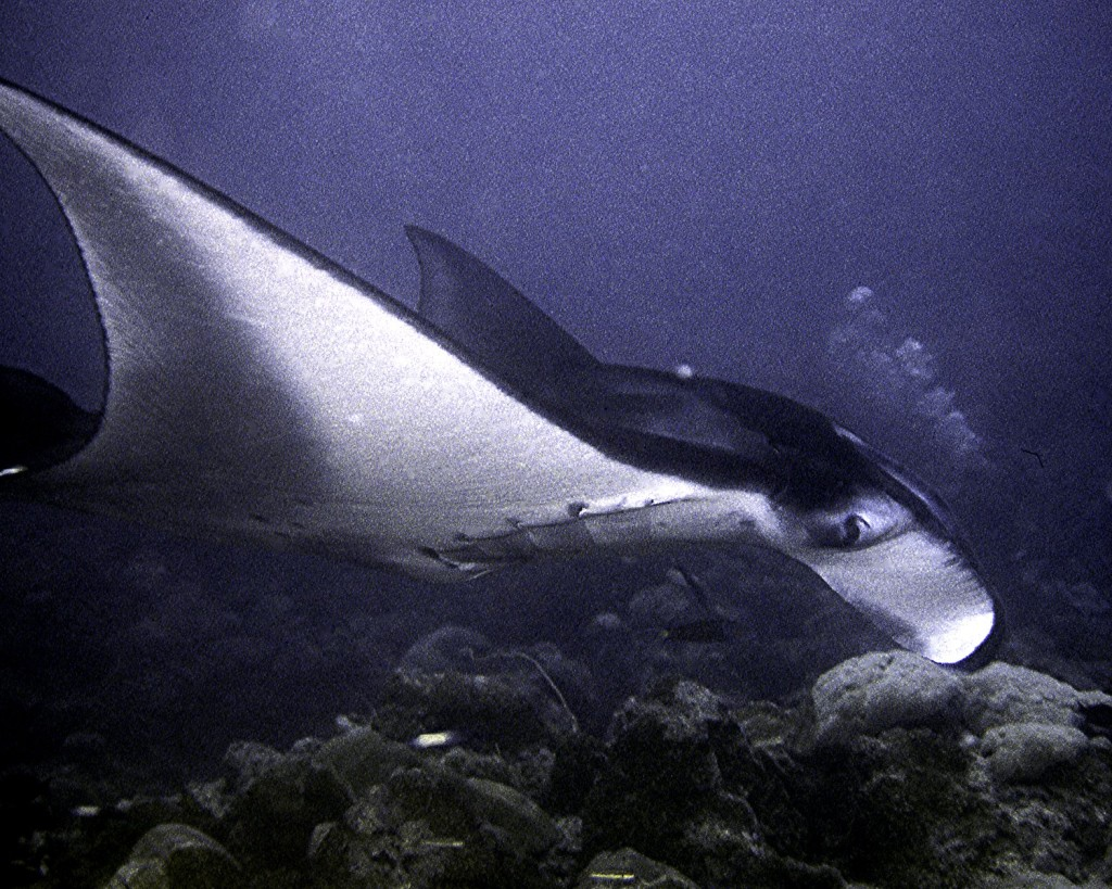 A Manta taking close look at me.