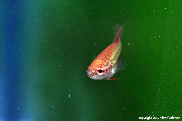 In a few more weeks, this young betta could be at market size - they really grow up fast!