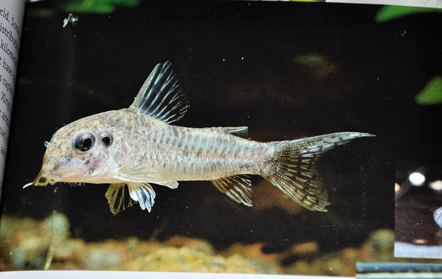 No, this isn't a 4-Eyed Corydoras - something went awry in the publishing process.