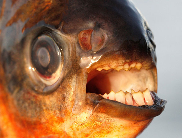 Pacu caught by a fisherman in the waters between Denmark and Sweden in summer, 2013. Image: Henrik Carl/University of Copenhagen.