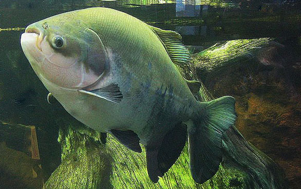 Large Pacu on display at the Shedd Aquarium, Chicago. Image: Omnitarian.