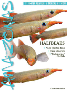 Livebearing freshwater halfbeaks grace the cover of AMAZONAS Magazine for January/February 2014. Image: Hans-Georg Evers.