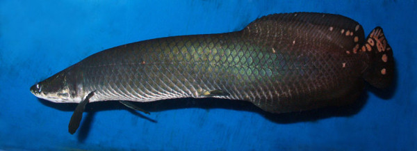Arapaima leptosoma in the Sevastopol Aquarium.