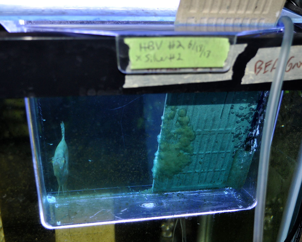 4 days into artificial incubation, 6/23/2013, fry are near free swimming, and fouled eggs are a congealed mess!