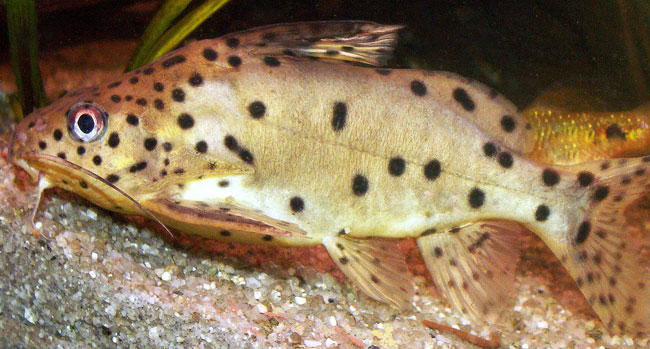 Synodontis njassae, the The Malawi Squeaker Catfish can live for decades in captivity. Image: PocketExpert Tropical Fishes (Microcosm/TFH).