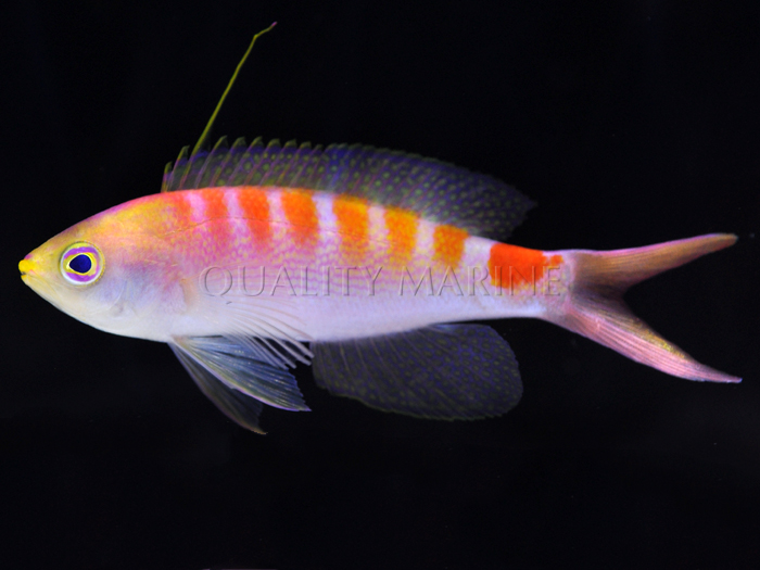 New Caledonia Sunrise Anthias - a new anthias species discovered by divers in Quality Marine's exclusive New Caledonia supply chain.