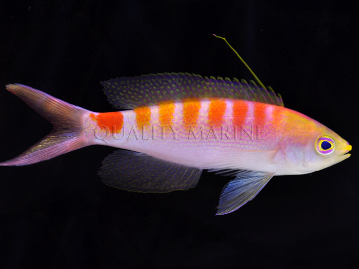 "Another look at the new anthias dubbed ""New Caledonia Sunrise Anthias"" while it awaits formal description by Jack Randall"