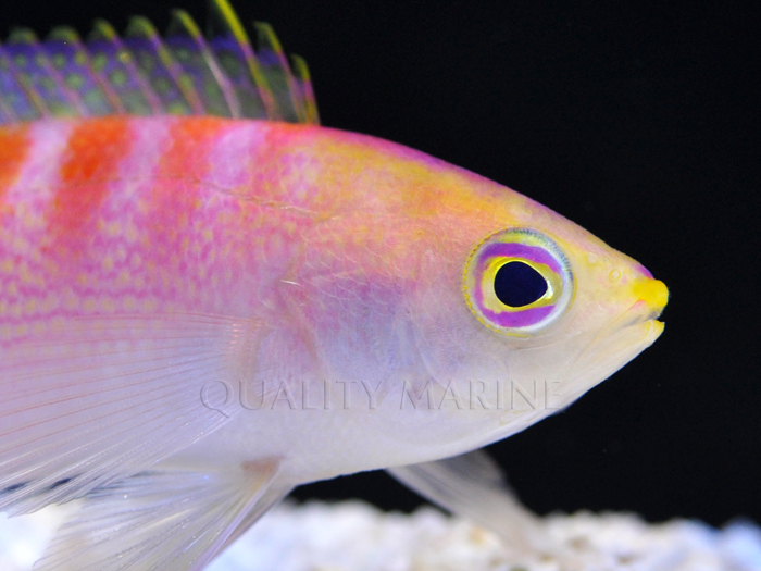 Headshot of the New Caledonia Sunrise Anthias - awaiting formal scientific description.