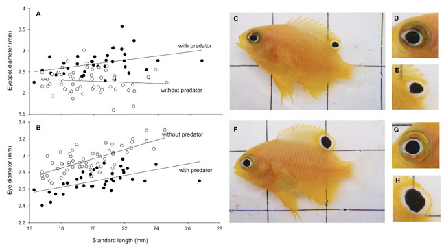 Relationships between eyespot size and eyeball size and body length. The relationship between standard length and eyespot diameter (A) and standard length and eye diameter (B) in presence and absence of predators. All prey fish exposed to predator cues over a 6 week period had significantly larger eyespots (F,H) and smaller eyes (F,G) than fish from the control treatments (C–E).