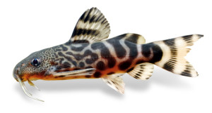 This young Synodontis pardalis is four months old and 1.8 inches (4.5 cm) long. The adult coloration is beginning to form on the head and the banding on the rear half of the body is beginning to dissolve into the typical spot pattern. Synodontis pardalis is particularly attractive at this size. Photo: H.-G. Evers