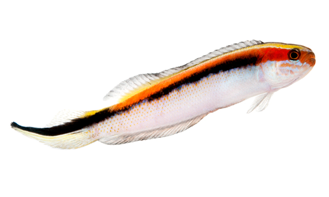 Eastern Hulafish, new captive-bred reef fish native to New South Wales, Australia. Image: ORA.