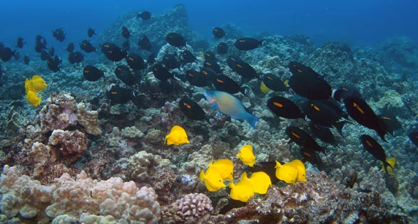 Swarms of surgeonfishes are a common sight off the west coast of Kona.