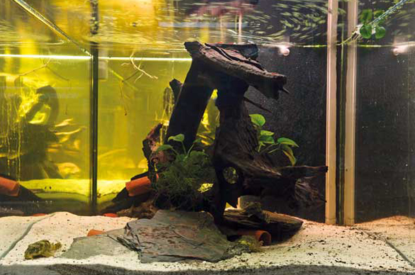 164-gallon aquarium used by the authors to house wild-caught Worm-line Plecos.