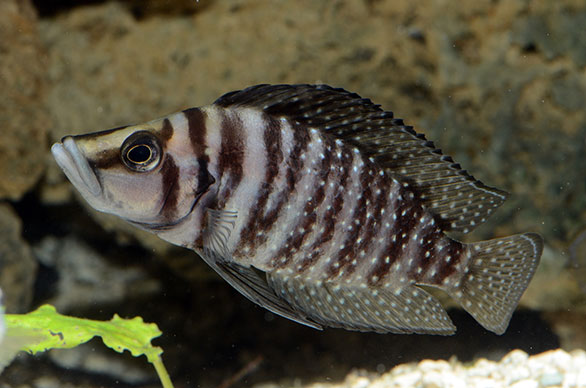 Altolamprologus calvus, a striking looking Lake Tanganyika species.