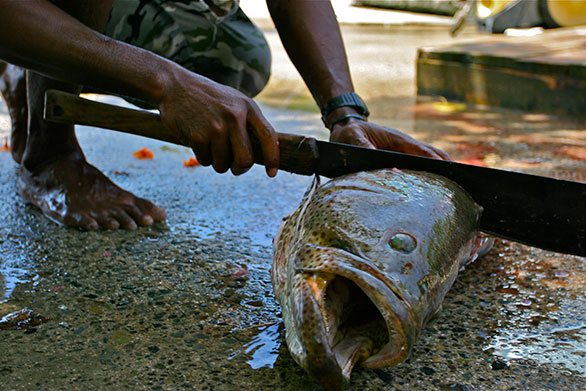Cleaning a grouper in a Solomon Islands village that also harvests live fish for the aquarium trade.