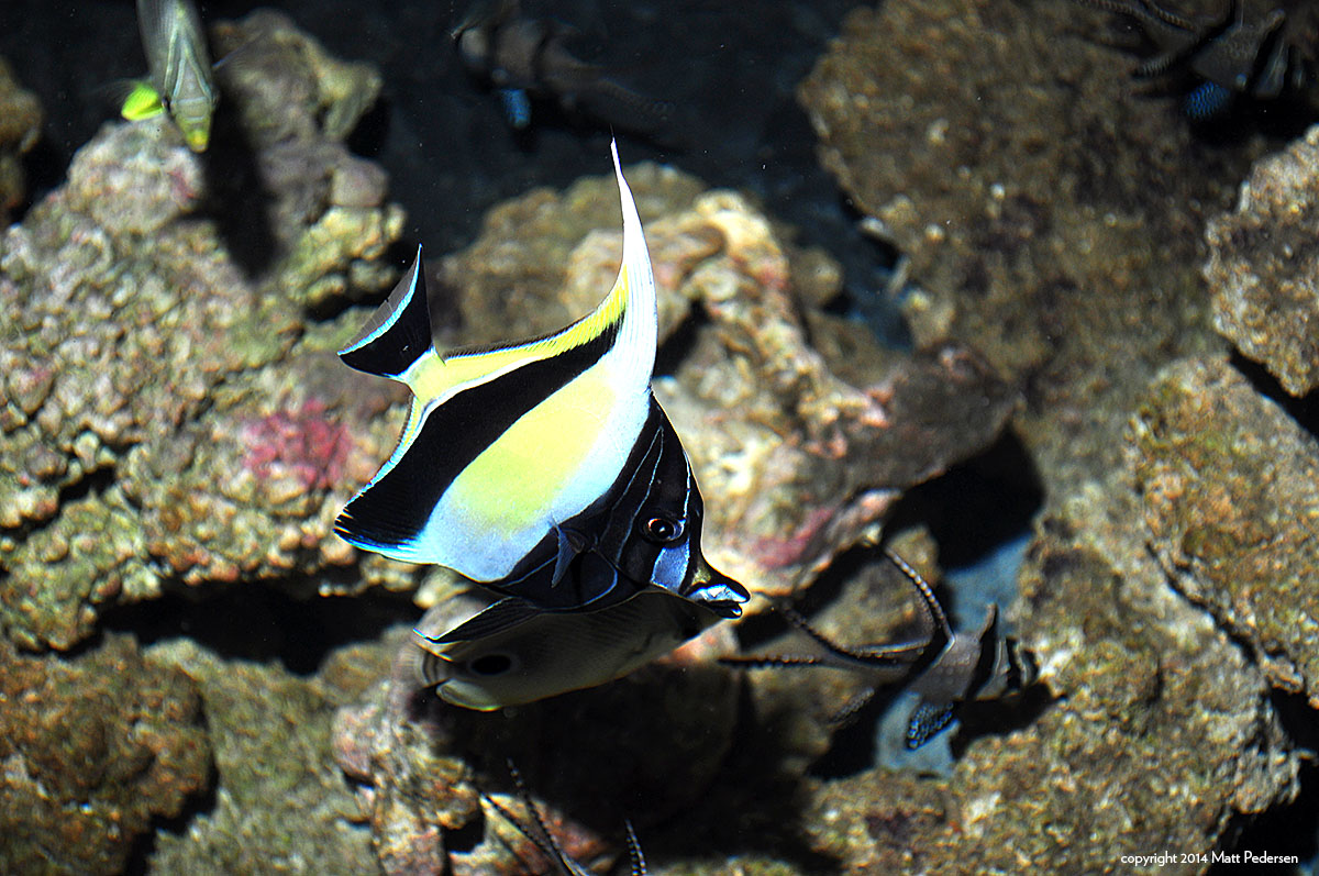 Banggai Cardinalfish meet Hawaiian Moorish Idols