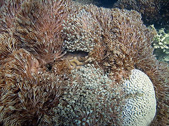 Venezuelan reefs overgrown by invasive xeniid soft coral: a C. natans (left) D. strigosa (right). b M. alcicornis