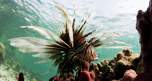 A non-native Volitans Lionfish, Pterois volitans, which has become an environmental threat to native reef fishes in the Caribbean.