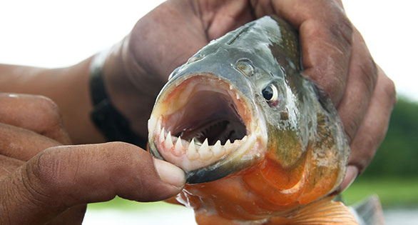 Many species of piranha are illegal to import, buy, sell or own in a number of US states.