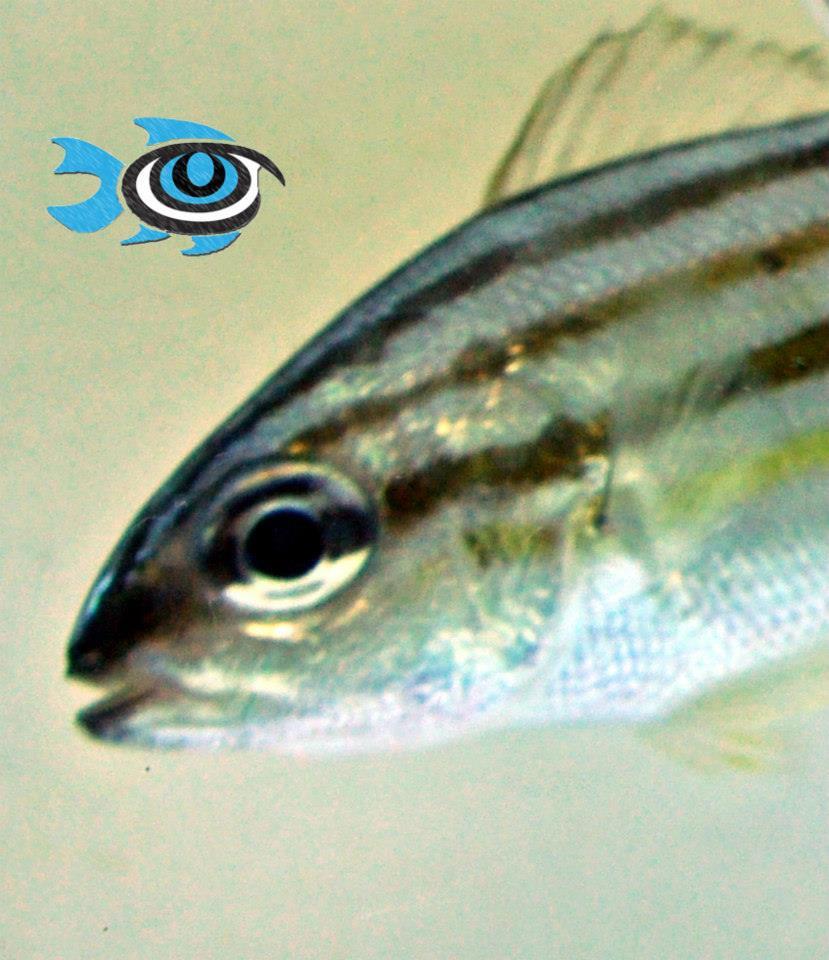 Captive-Bred Smallmouth Grunt - image courtesy Fisheye Aquaculture