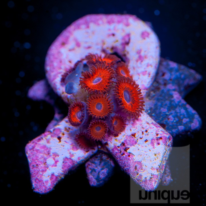 "Superman Zoa ""Coral for The Cure"" offering"