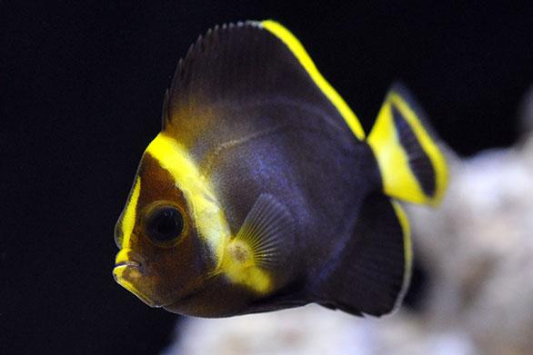 Blue Maze Angelfish, captive-bred in Bali. Image: Eli Fleischauer/Quality Marine