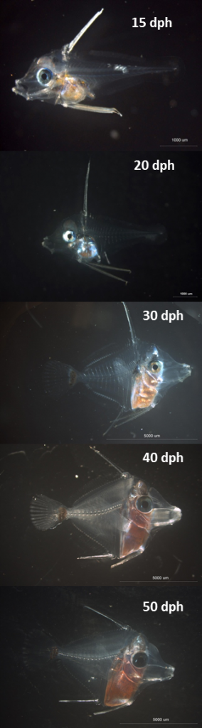 Larval development of yellow tangs from 15 to 50 days post hatch (dph).  Photo credit: Dean Kline and David Hoy.