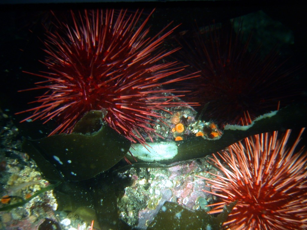 Kelp-eating urchins.