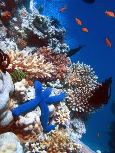 A Blue Starfish (Linckia laevigata) resting on hard Acropora coral. Lighthouse, Ribbon Reefs, Great Barrier Reef. Image: Richard Ling/CC. Click to enlarge.