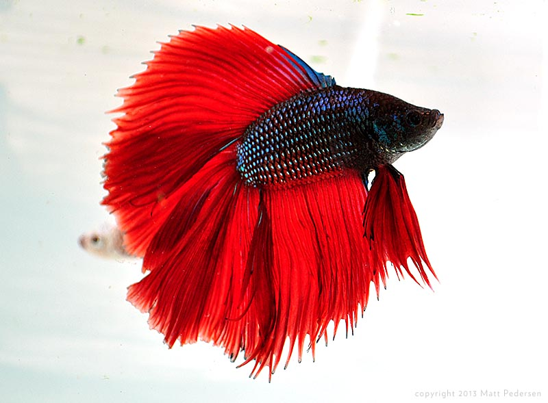"Domestic ornamental bettas like this double tail are about as far away from ""wild"" as it gets!"